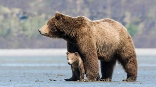 DisneyNature Bears2 image