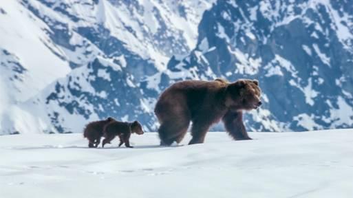 Disney Nature Bears3 image